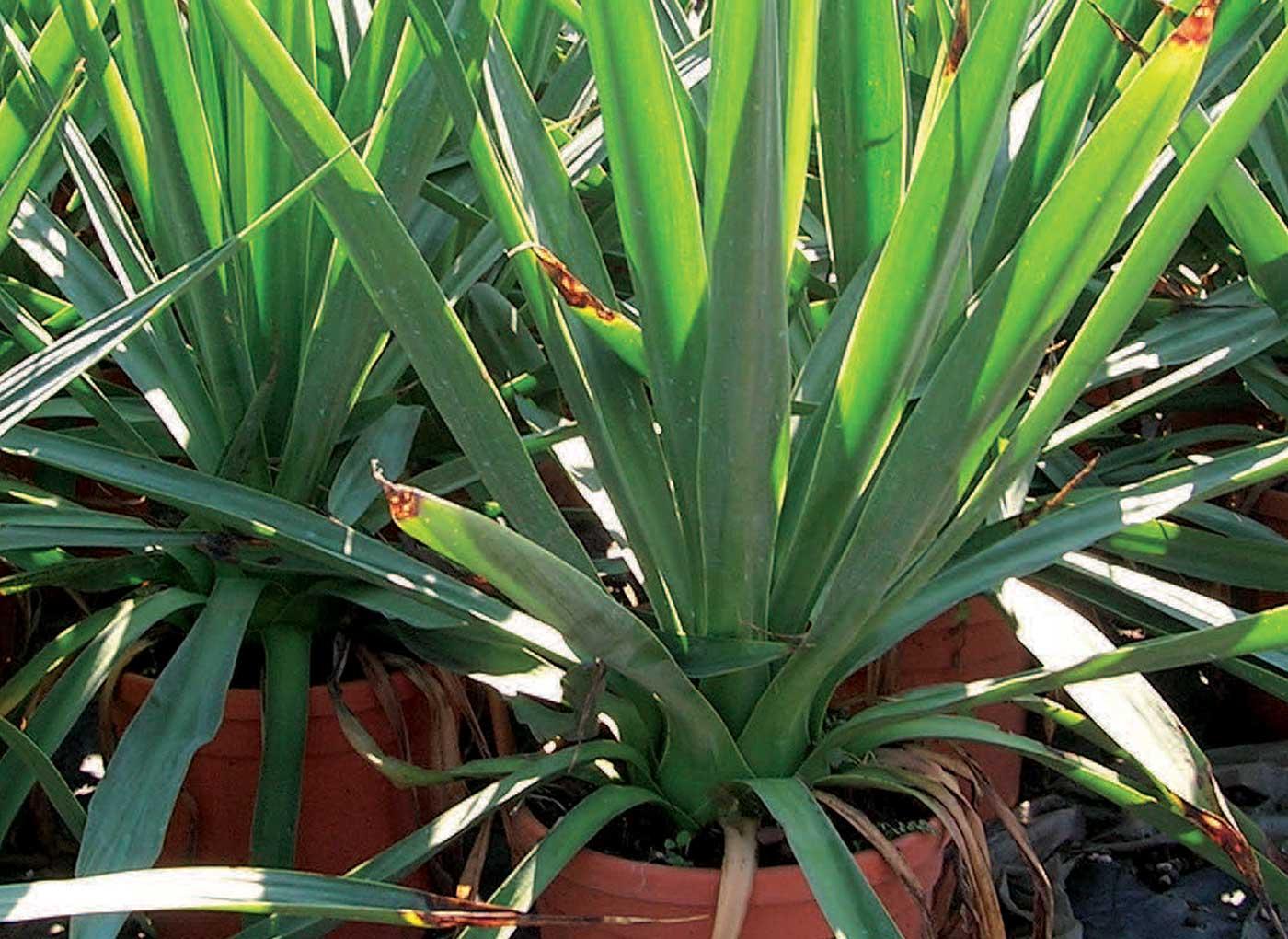 vivaismo-piante-in-vaso-AV4